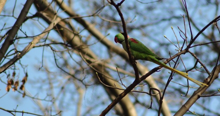 papağan2
